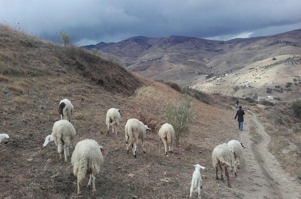 Des nouvelles du Rif: projet d'élevage